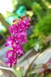Orquídeas púrpuras en la naturaleza Foto de archivo libre de regalías