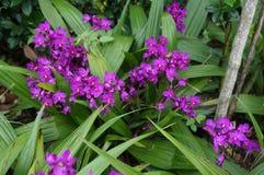 Orquídeas púrpuras en la vid Imagen de archivo libre de regalías