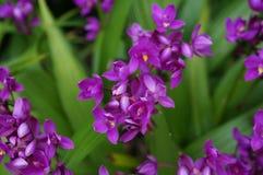 Orquídeas púrpuras en la vid Fotos de archivo libres de regalías