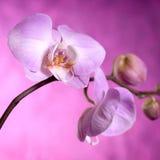 Orquídeas púrpuras y rosadas Imagen de archivo libre de regalías