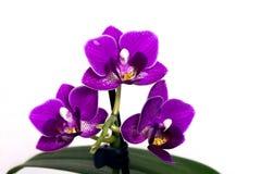 orquídeas - phalaenopsis Imágenes de archivo libres de regalías