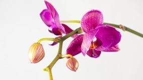Orquídeas que florecen en el fondo blanco