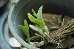 Orquídeas que la orquídea del growThe está creciendo fotos de archivo