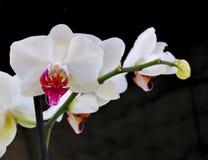 Orquídeas quebradizas blancas en fondo negro Imagen de archivo