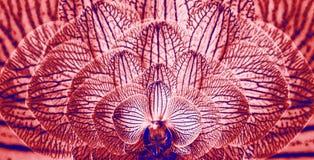 Orquídeas rojo-azules Fondo de las orquídeas de las flores Composición de la flor primer Flores berrendas abigarradas Fotografía de archivo