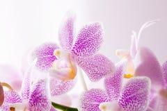 Orquídeas rosadas Fotografía de archivo