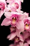 Orquídeas rosadas, aisladas contra un fondo negro fotografía de archivo libre de regalías