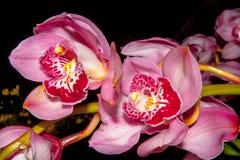 Orquídeas rosadas - Cymbidium Foto de archivo libre de regalías