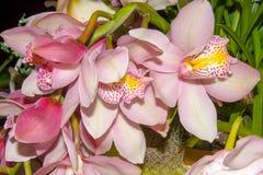 Orquídeas rosadas - Cymbidium Fotografía de archivo