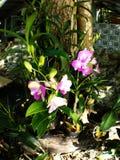 Orquídeas rosadas del cattleya fotos de archivo libres de regalías