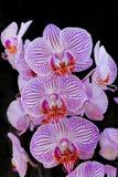 Orquídeas rosadas en fondo negro Fotos de archivo