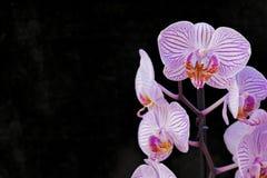 Orquídeas rosadas en fondo negro Imagenes de archivo