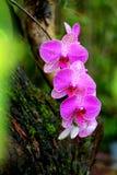 Orquídeas rosadas en Maui Imagen de archivo libre de regalías