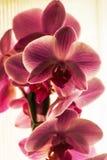 Orquídeas rosadas nacionales Imagen de archivo libre de regalías