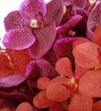 Orquídeas rosadas y rojas Imagen de archivo libre de regalías