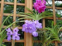 Orquídeas rosadas y violetas Imagen de archivo libre de regalías