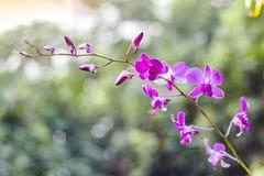 Orquídeas roxas 01 fotografia de stock royalty free