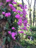 Orquídeas roxas Foto de Stock