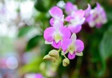 orquídeas roxas Foto de Stock Royalty Free