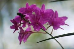Orquídeas roxas Fotos de Stock Royalty Free