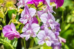 Orquídeas roxas bonitas, Dendrobium Fotografia de Stock