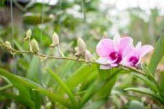 Orquídeas roxas cor-de-rosa que estão começando brotar e produzir a flor foto de stock