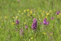 Orquídeas salvajes en prado Foto de archivo