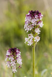 Orquídeas selvagens da Suécia Fotografia de Stock Royalty Free