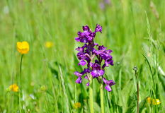 Orquídeas selvagens no prado Fotografia de Stock
