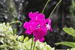 Orquídeas tailandesas Foto de Stock Royalty Free