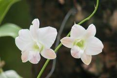 Orquídeas tailandesas Fotos de Stock Royalty Free