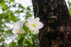 Orquídeas tailandesas Foto de Stock