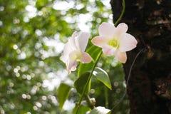 Orquídeas tailandesas Imagens de Stock Royalty Free