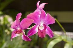 Orquídeas Tailandia Fotos de archivo libres de regalías