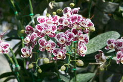 Orquídeas tropicais das orquídeas brancas e roxas Fotos de Stock Royalty Free