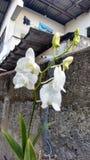 Orquídeas tropicales del whie de la flor fotos de archivo
