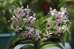 Orquídeas Vanda Suavis Foto de archivo libre de regalías