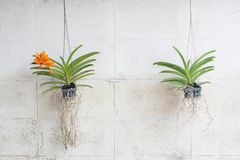 Orquídeas verdes crecidas en los potes plásticos que cuelgan en las paredes del vintage Fotografía de archivo