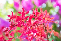 Orquídeas vermelhas, Renanthera Fotografia de Stock Royalty Free