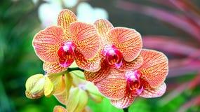 Orquídeas vibrantes Imagen de archivo libre de regalías