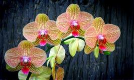 Orquídeas vibrantes do phalaenopsis fotos de stock