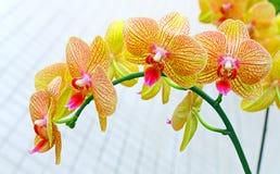 Orquídeas vibrantes do phalaenopsis imagem de stock royalty free