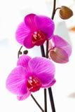 Orquídeas violetas Foto de archivo libre de regalías