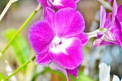 Orquídeas violetas Imágenes de archivo libres de regalías
