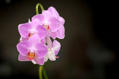 Orquídeas violetas Fotografía de archivo libre de regalías