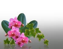 Orquídeas y elemento del diseño de la hiedra Imagen de archivo