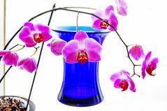 Orquídeas y florero azul Foto de archivo libre de regalías
