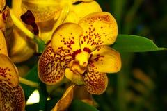 Orqu?dea amarilla hermosa - detalle de una flor de la planta de la casa imágenes de archivo libres de regalías