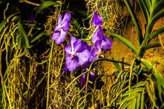 Orqu?dea p?rpura hermosa - detalle de una flor de la planta de la casa foto de archivo libre de regalías