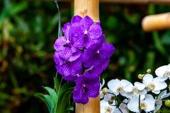 Orqu?dea p?rpura hermosa - detalle de una flor de la planta de la casa fotos de archivo